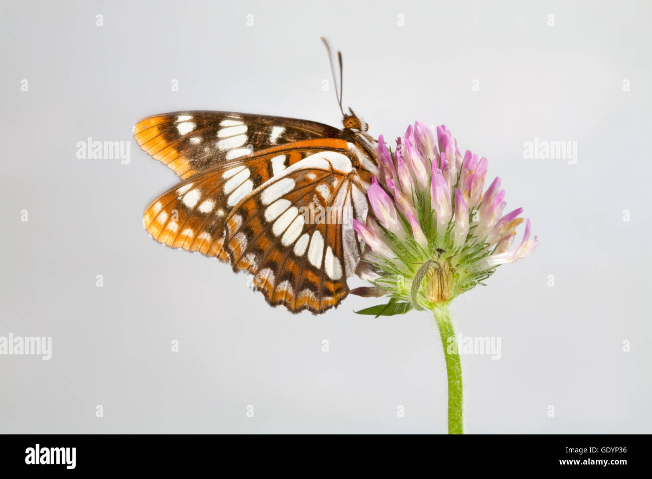 A Lorquin's Admiral (Limenitis lorquini) butterfly, along the Metolius River in the Oregon Cascade Mountains - Stock Image