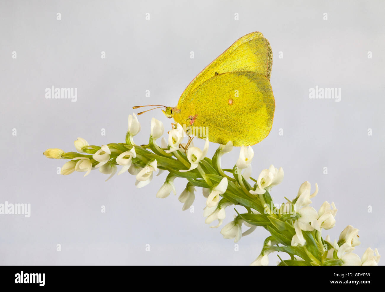 A clouded sulphur butterfly, Colias philodice, taking nectar from a flower - Stock Image
