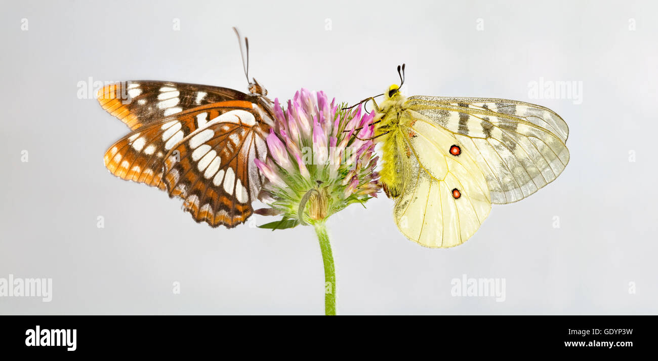 A Lorquin's Admiral (Limenitis lorquini) butterfly, and  an American Apollo butterfly along the Metolius River - Stock Image