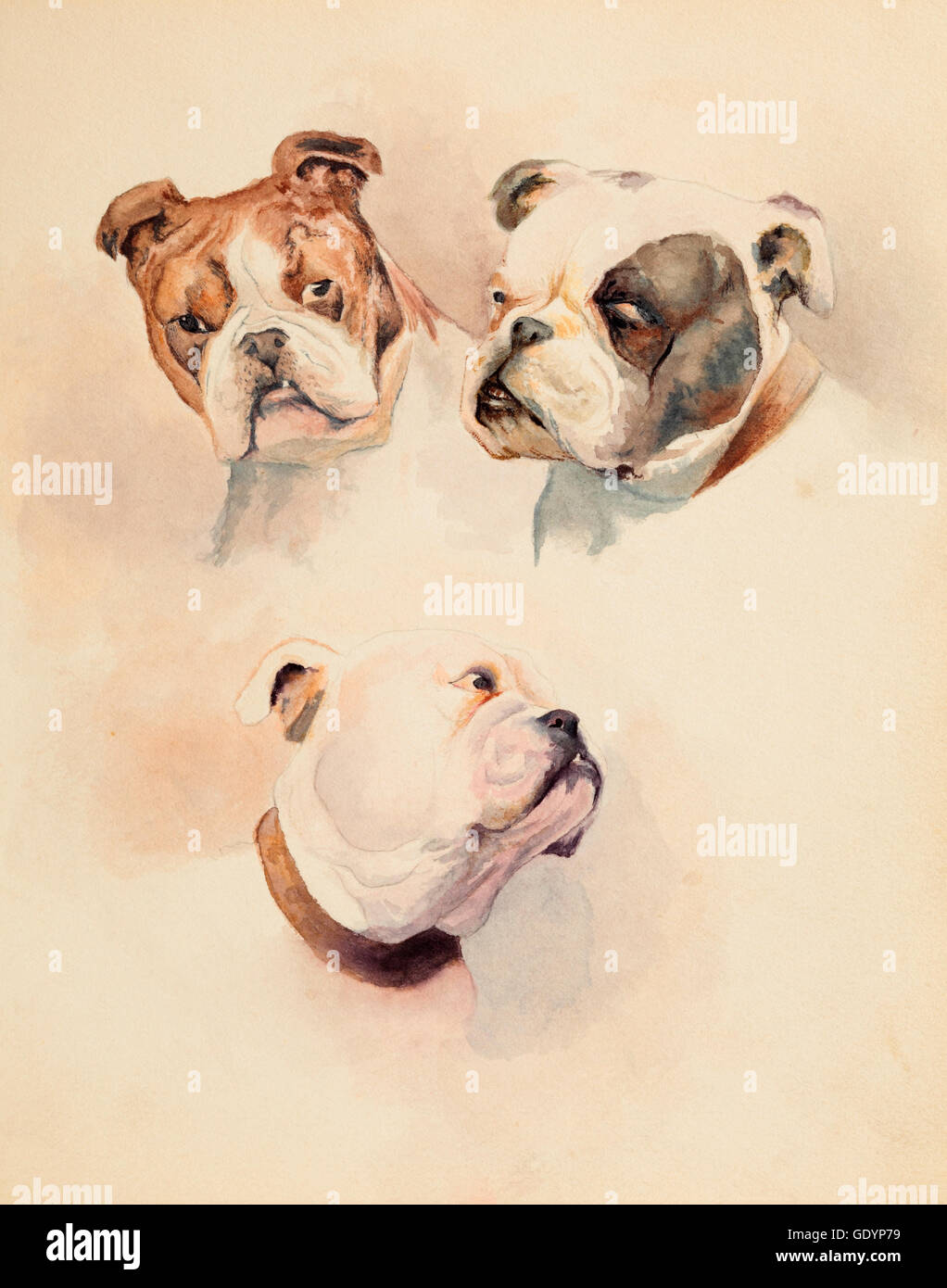 Bulldogs, a watercolour study of three heads. - Stock Image