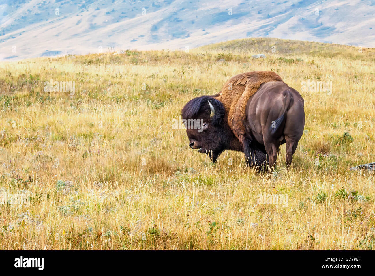 A bison on the prairie - Stock Image