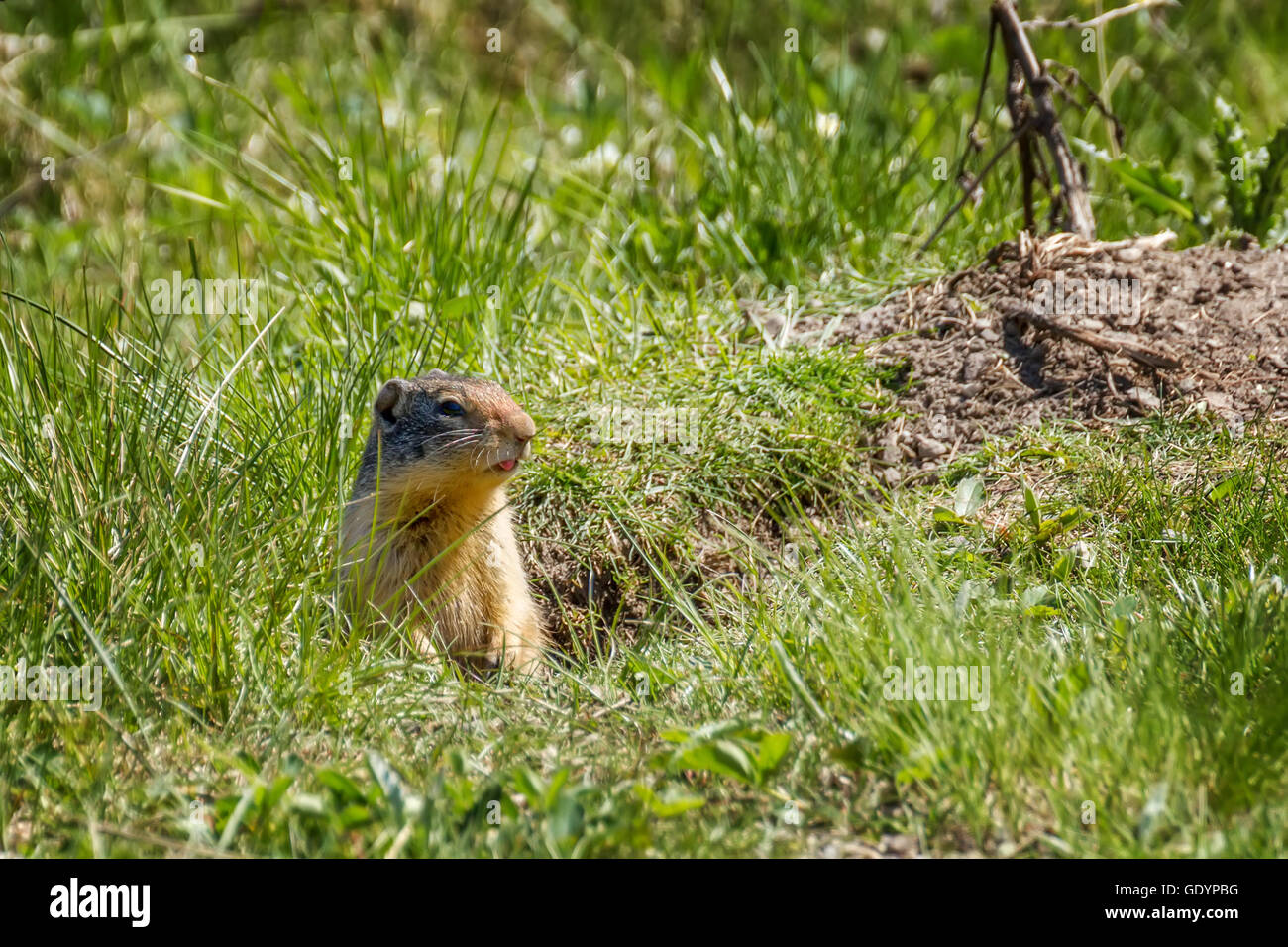 A tiny prairie dog checking me out - Stock Image