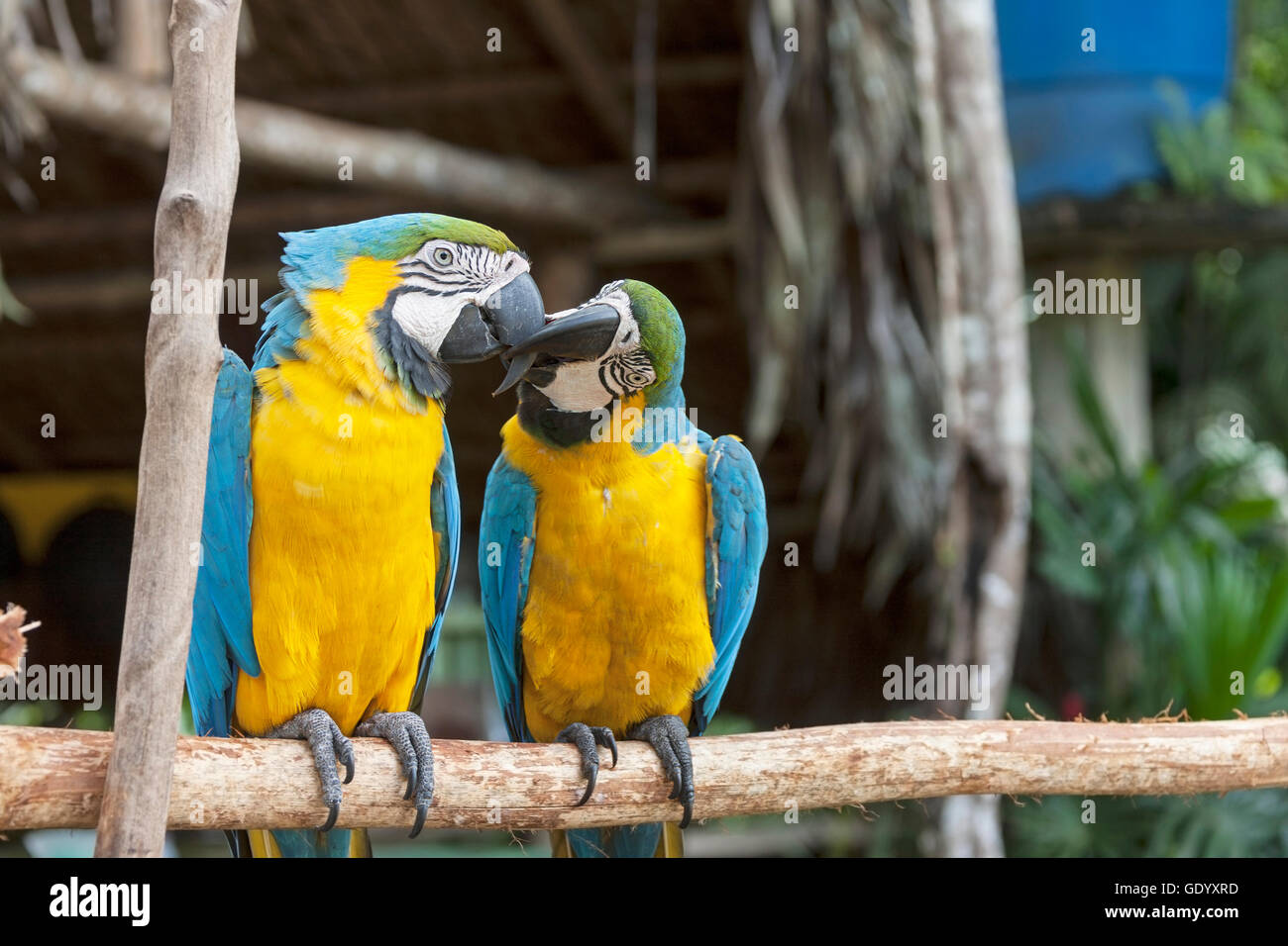 Two Gold and Blue Macaws (Ara ararauna) mating with love kiss, Orinoco Delta, Venezuela - Stock Image