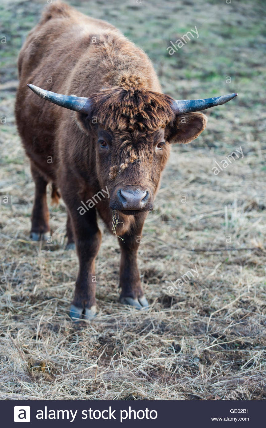Head of cattle unfazed by cluster of burrs on its thick fur - Stock Image