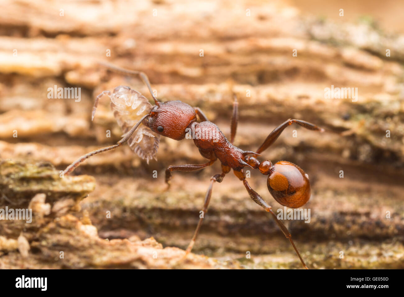 A Spine-waisted Ant (Aphaenogaster tennesseensis) worker carries its scavenged food, a woodlouse, back to its nest. - Stock Image