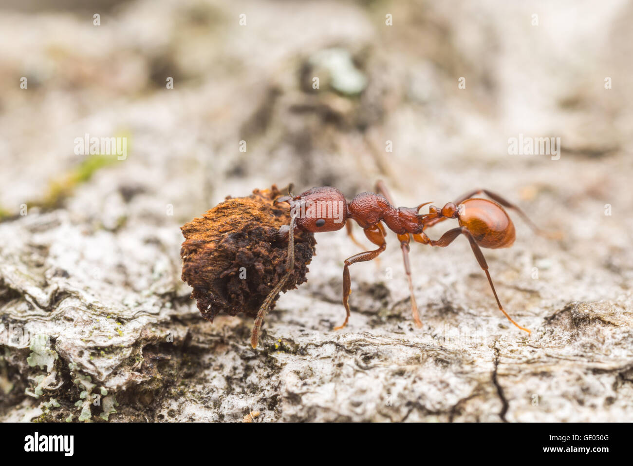 A Spine-waisted Ant (Aphaenogaster tennesseensis) worker carries scavenged food back to its nest. - Stock Image