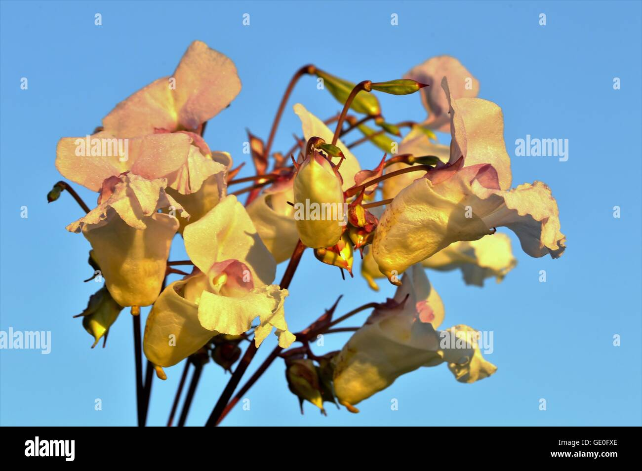 Himalayan Balsam flowers against a blue sky. Stock Photo