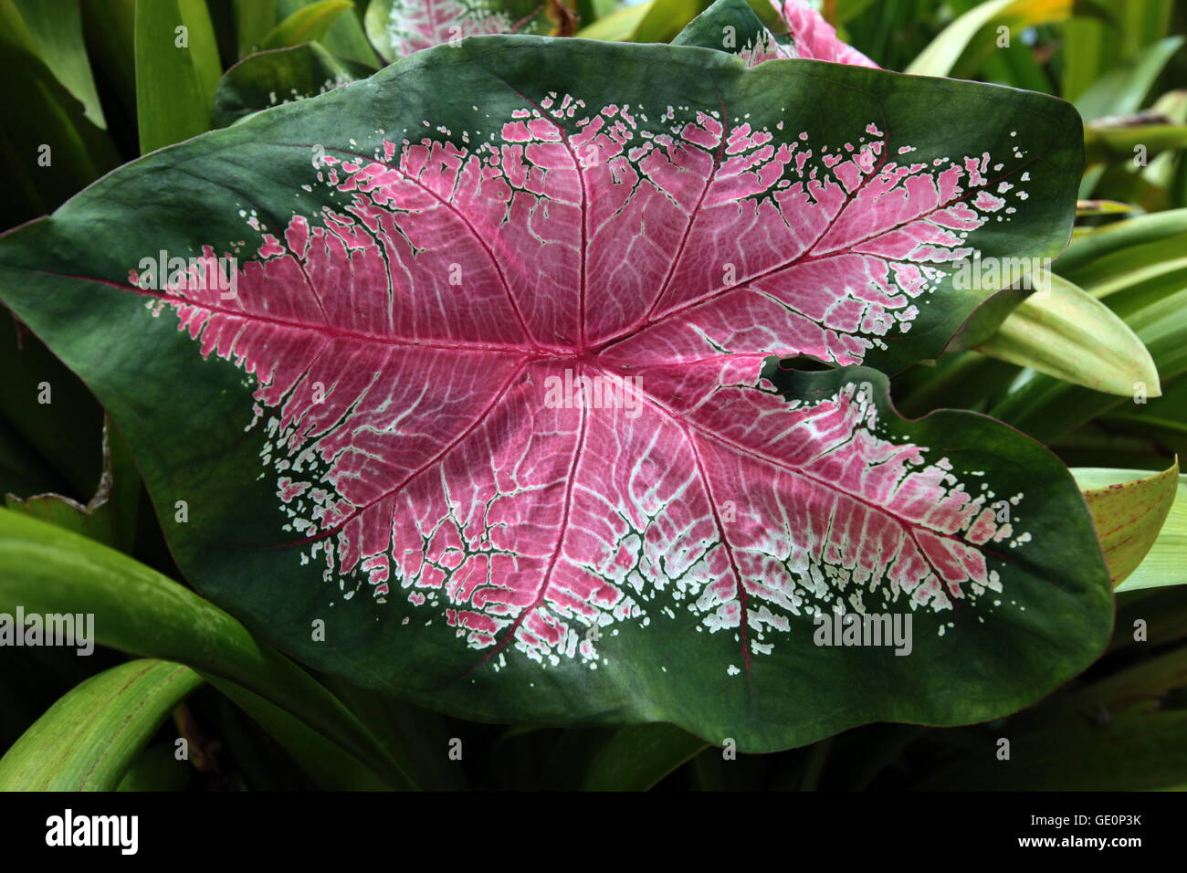 tropical flowers in the city of Bandar seri Begawan in the country of Brunei Darussalam on Borneo in Southeastasia. - Stock Image