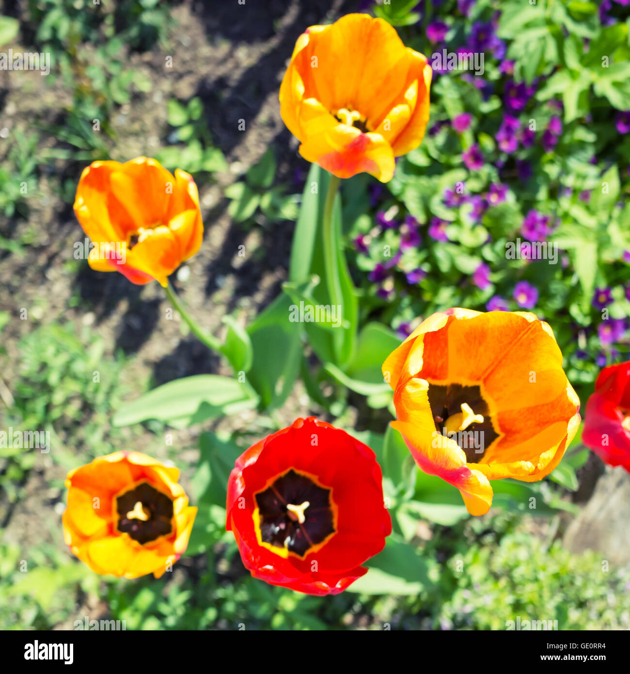 Colorful Tulip Flowers In Spring Garden Square Top View Photo With