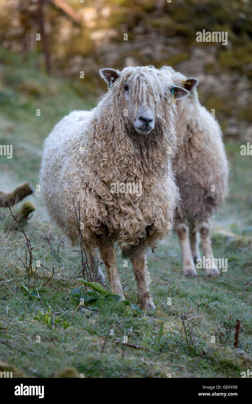 Cotswold Lion breed of sheep, Cotswolds, Gloucestershire, England, United Kingdom, Europe Stock Photo