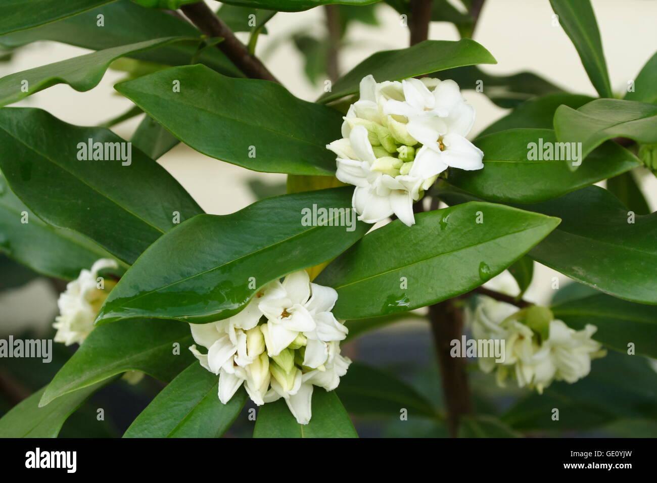 Daphne odora alba - Stock Image