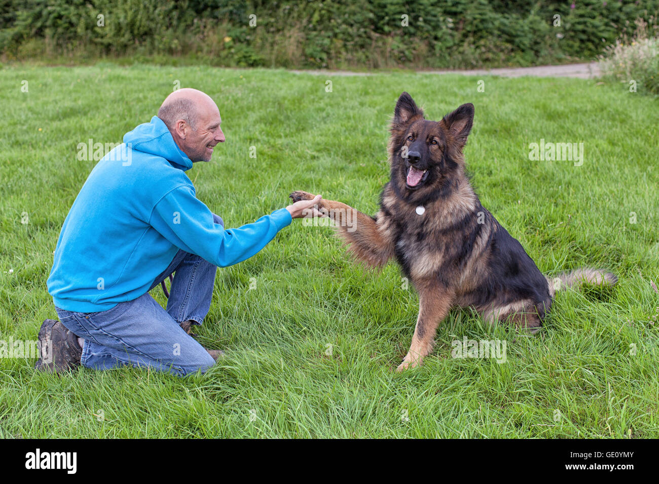 German Shepherd Dog shaking this owners hand. They are outside on grass doing training. - Stock Image