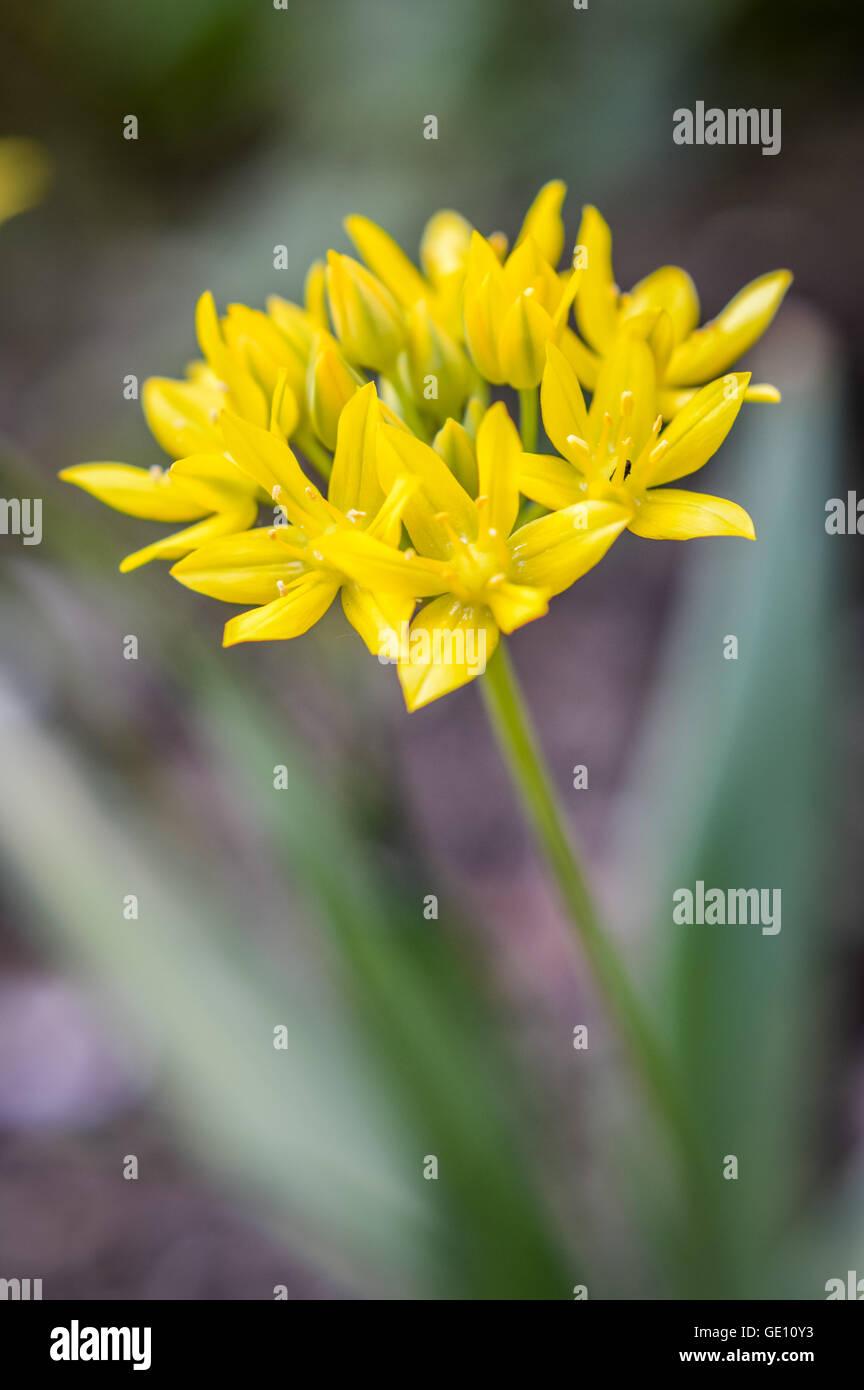 Yellow Allium Stock Photos Yellow Allium Stock Images Alamy