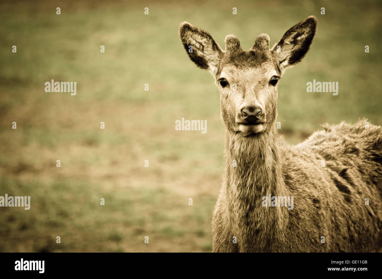 Red Deer Portrait - Stock Image