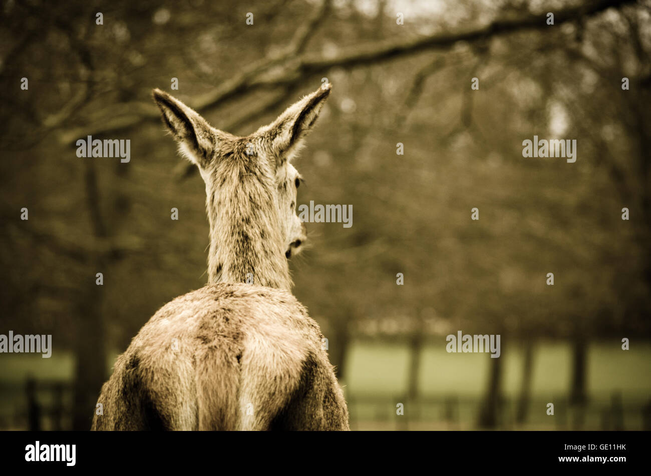 Red Deer Looking into the Distance - Stock Image