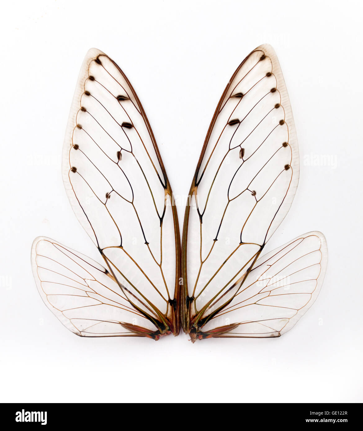 A pair of cicada insect  wings - Stock Image
