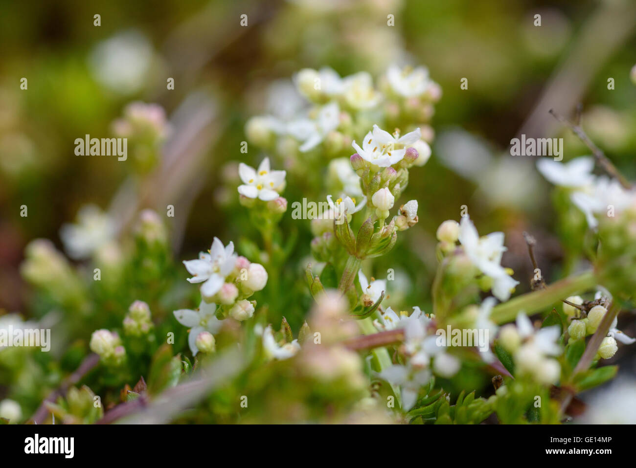 Heath Bedstraw, Galium saxatile, wildflower, Dumfries & Galloway, Scotland - Stock Image
