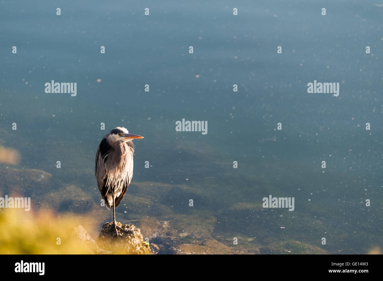 blue heron standing on rocks in the beach of  Lighthouse Marine Park in Point Roberts with scenic view of ocean - Stock Image