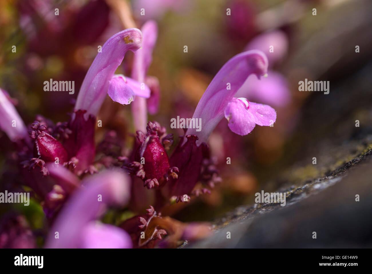 Lousewort, Pedicularis Sylvatica, wildflower, Fleet Valley, Dumfries & Galloway, Scotland - Stock Image