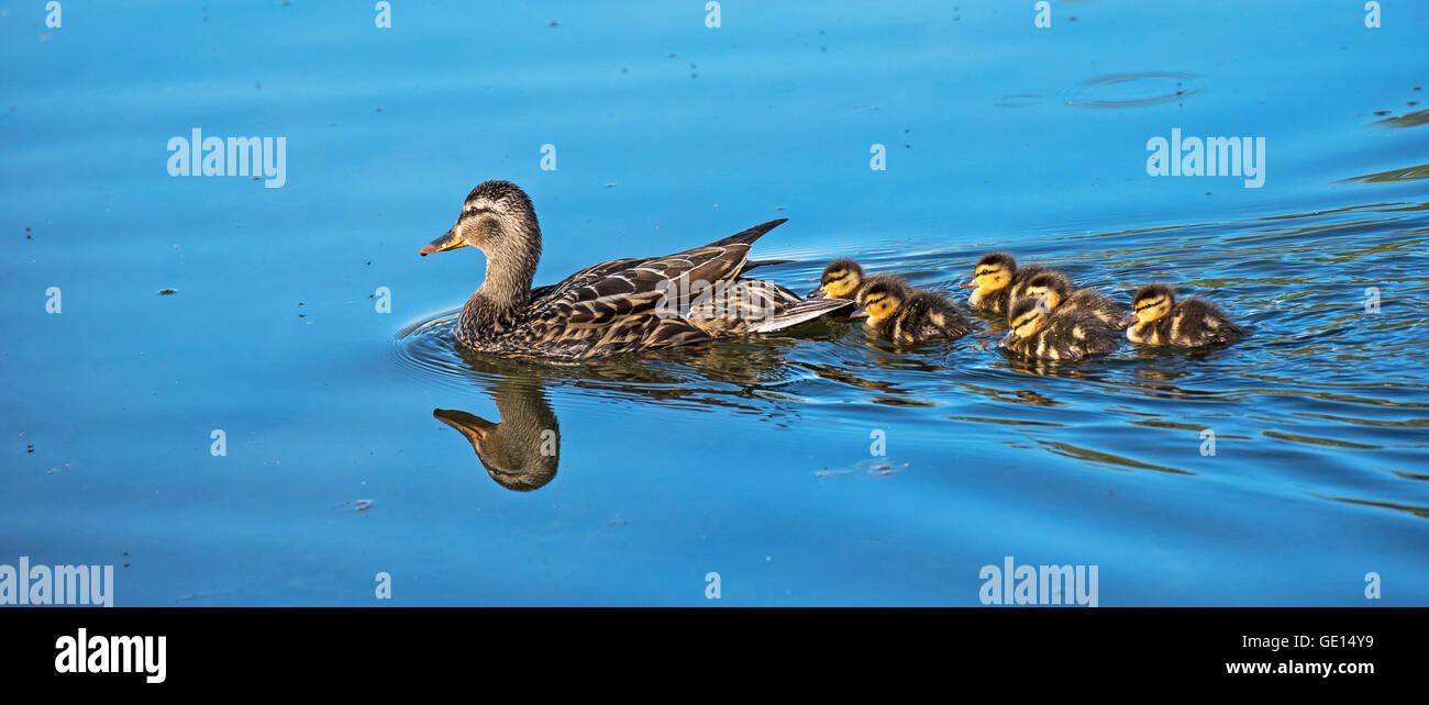 Mallard duck and her chicks in Alaska - Stock Image