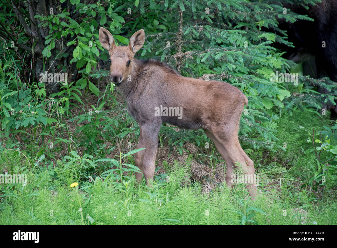Moose calf looking in Alaska - Stock Image