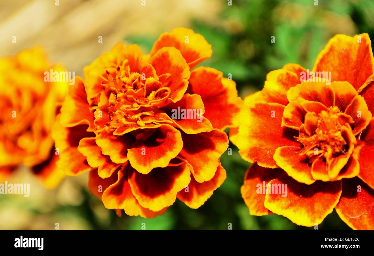 Yellow Carnations Flowers Stock Photos Yellow Carnations Flowers