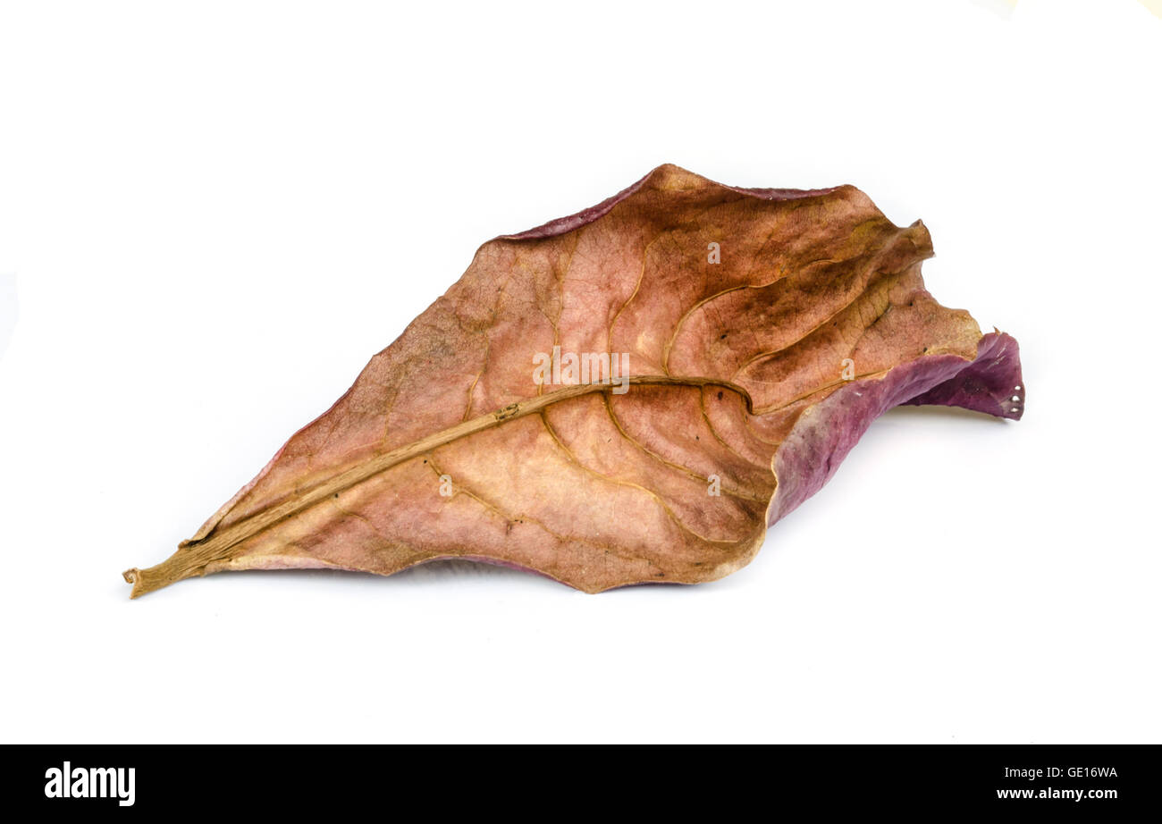 Close up of dry leaf isolated on white background. - Stock Image