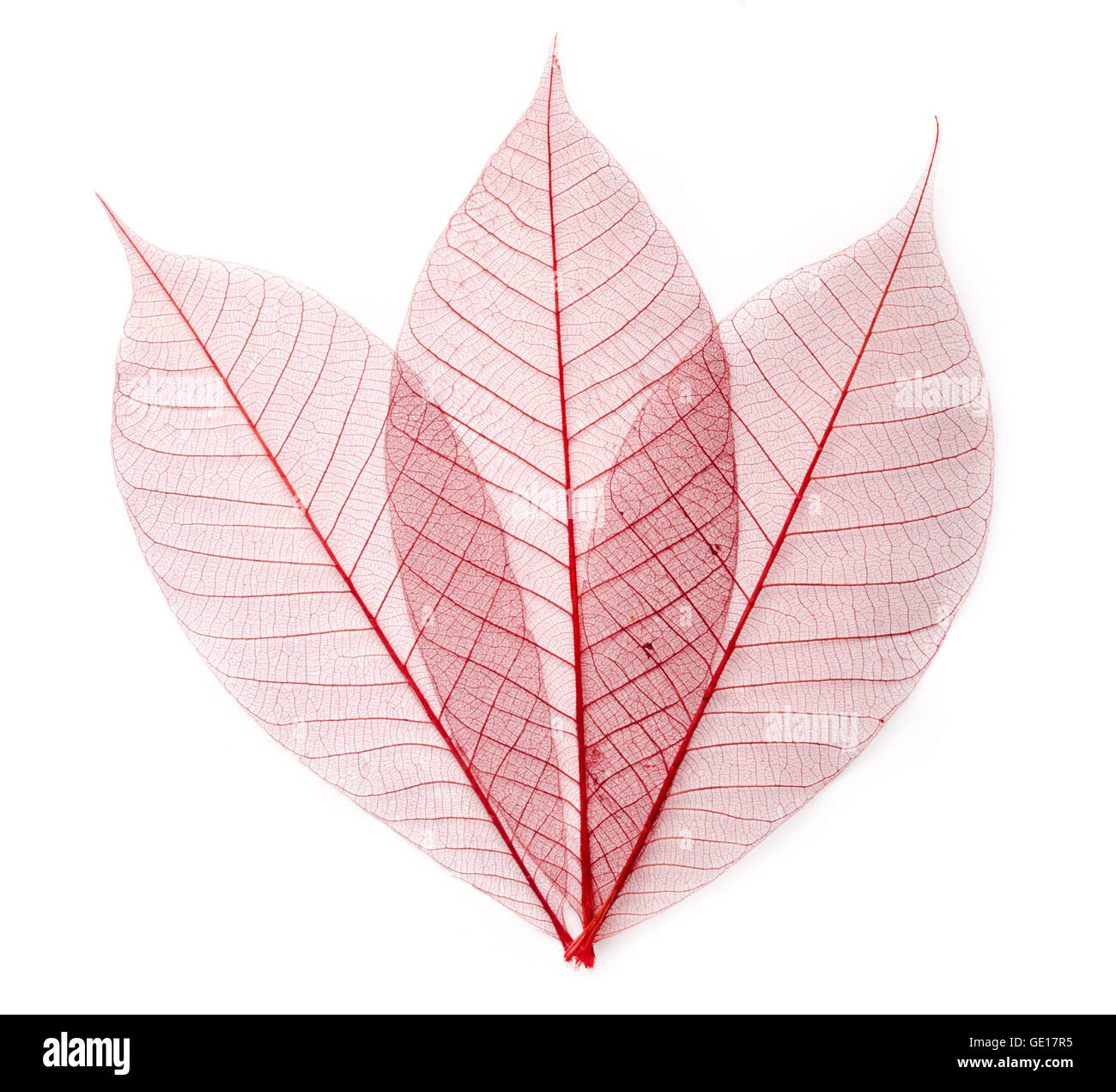 dried color  leaf  transparent    isolated on white. - Stock Image