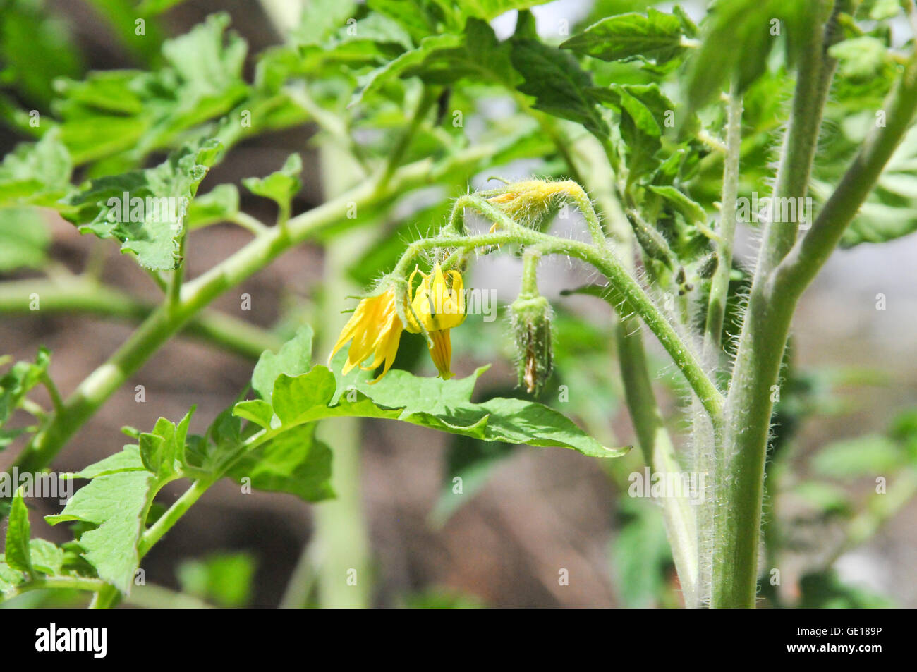 Tomato plant with yellow flowers grows in a garden stock photo tomato plant with yellow flowers grows in a garden mightylinksfo