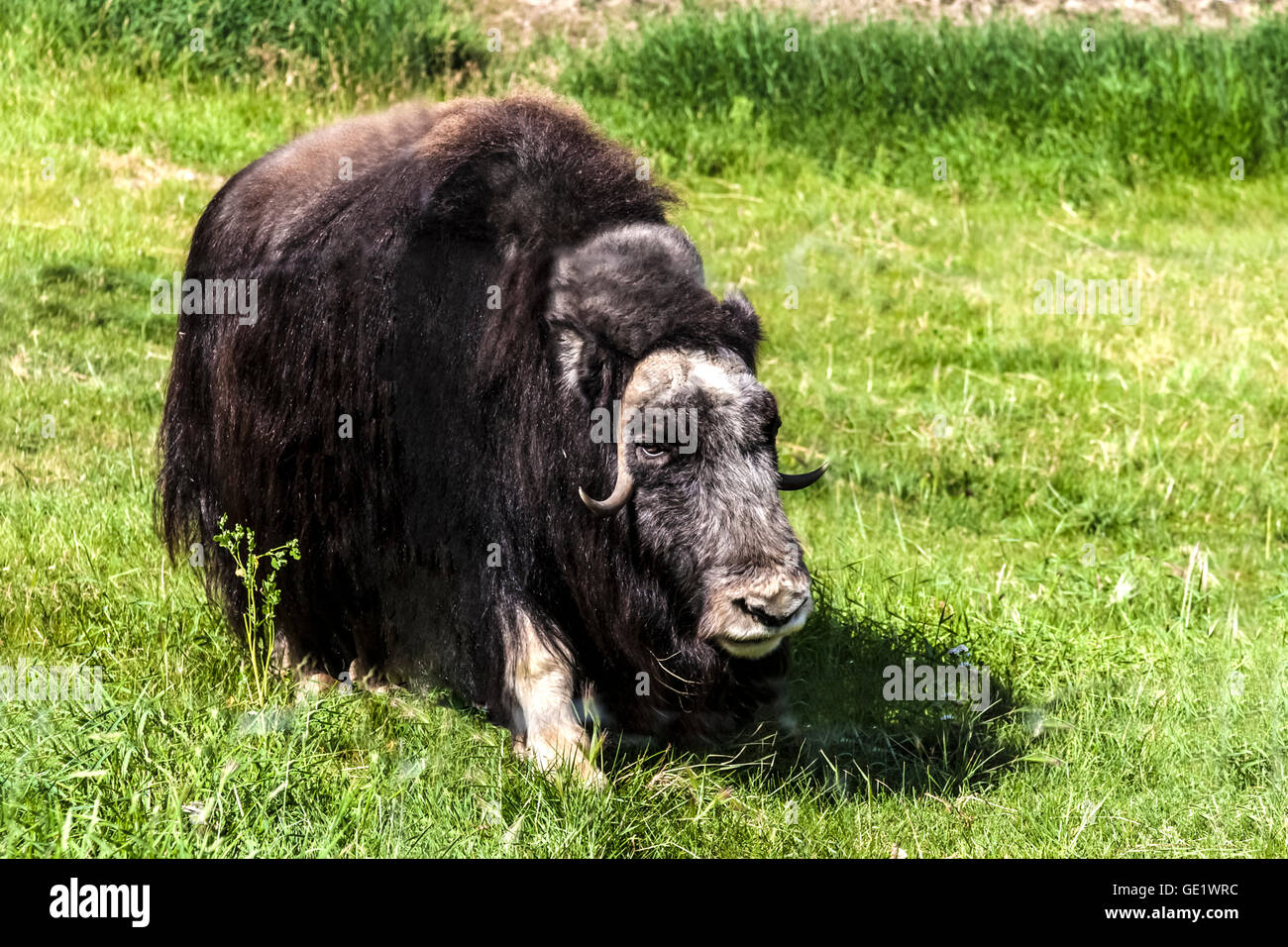 The muskox is a large hairy Arctic mammal noted for its thick fur coat - Stock Image