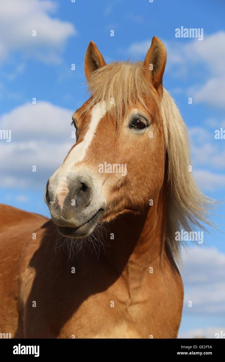 Haflinger horse portrait Stock Photo