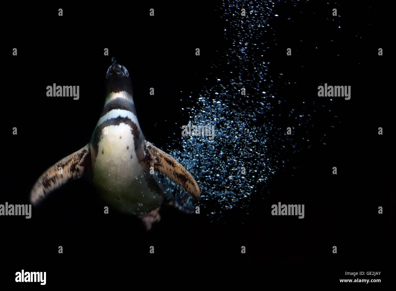 penguin - Stock Image