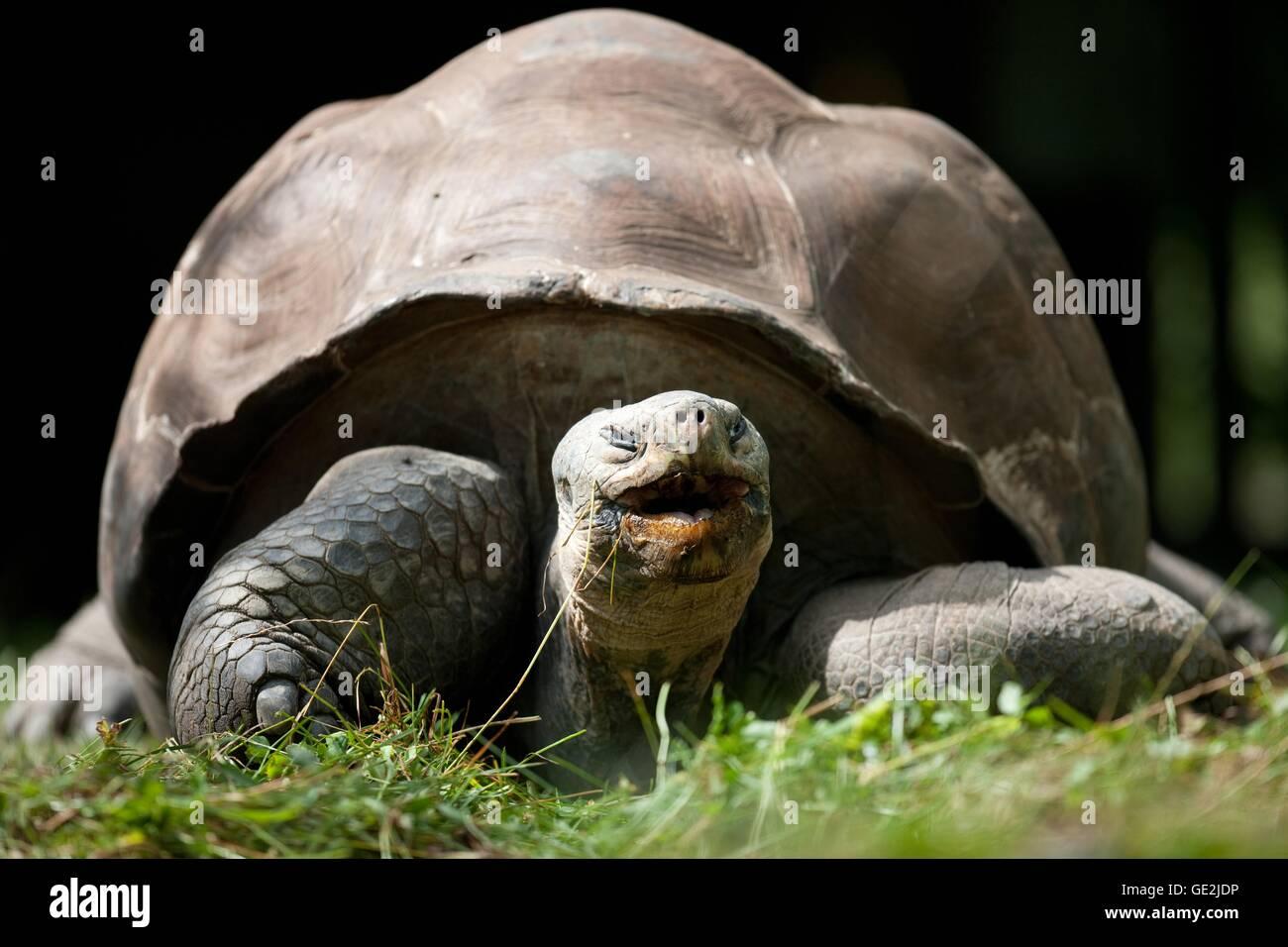 galapagos giant tortoise - Stock Image