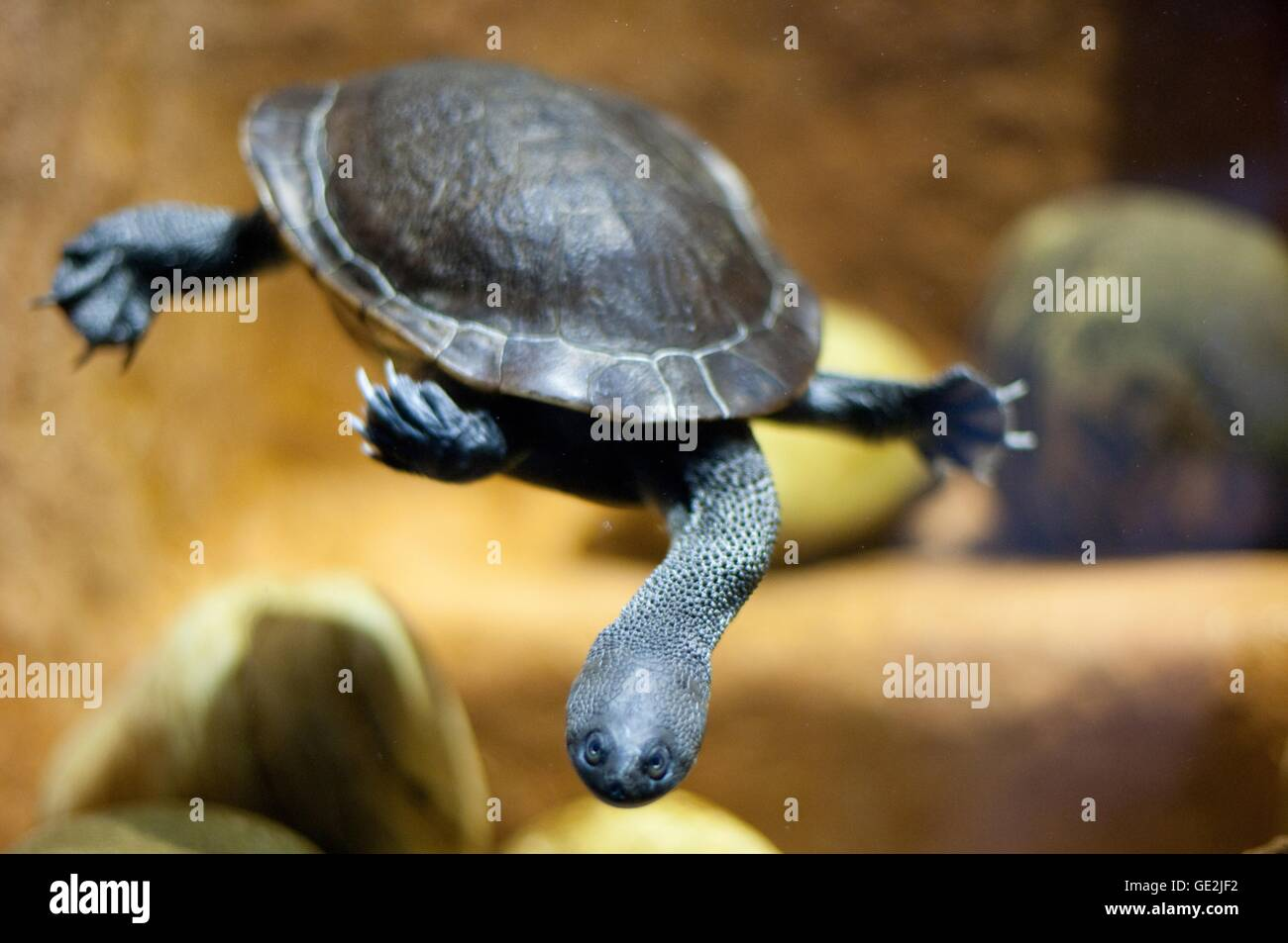 snake-necked turtle - Stock Image