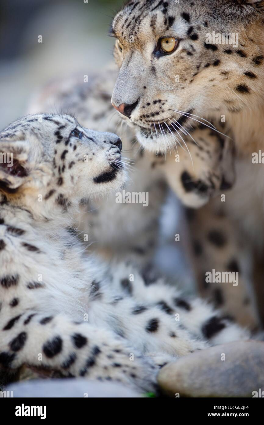 snow leopards - Stock Image