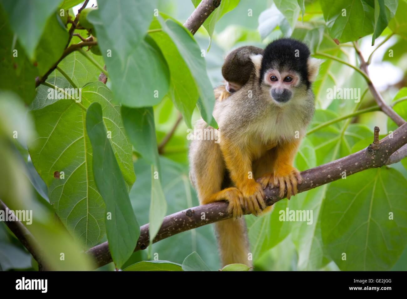 squirrel monkeys - Stock Image