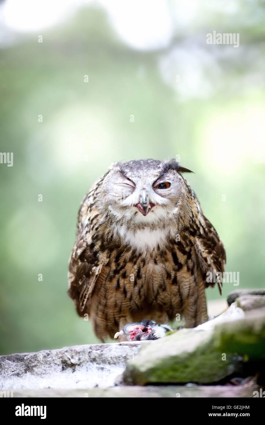 Eurasian eagle owl - Stock Image