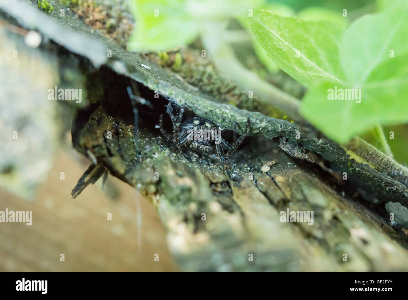 Closeup of a big fat black spider couching on a prey - Stock Image