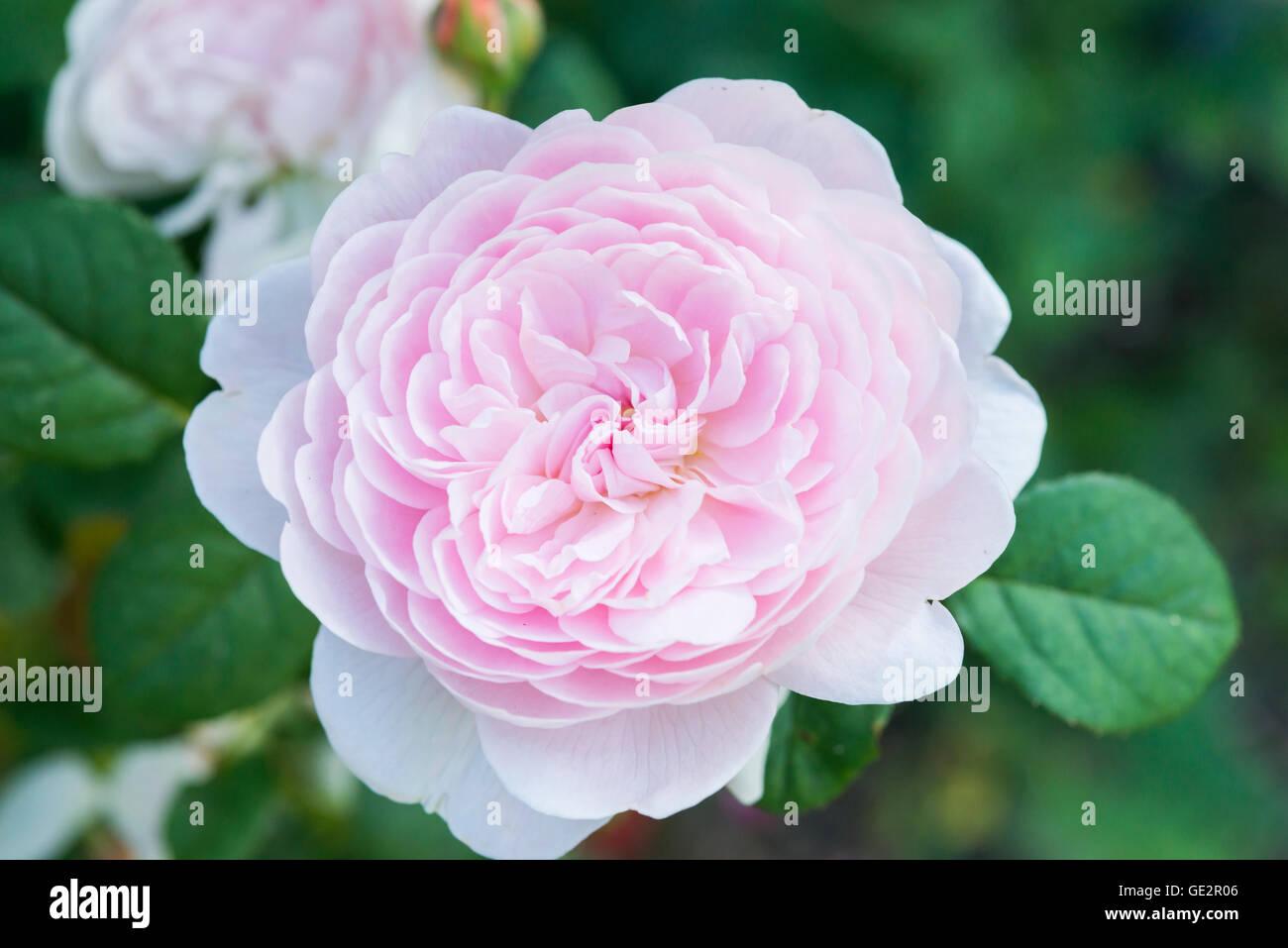 Symbol Nice White Rose Stock Photos Symbol Nice White Rose Stock