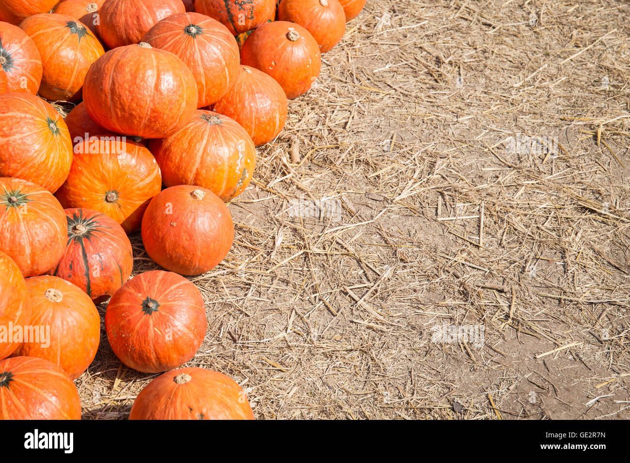 pumpkin in a field background for fall autumn halloween stock