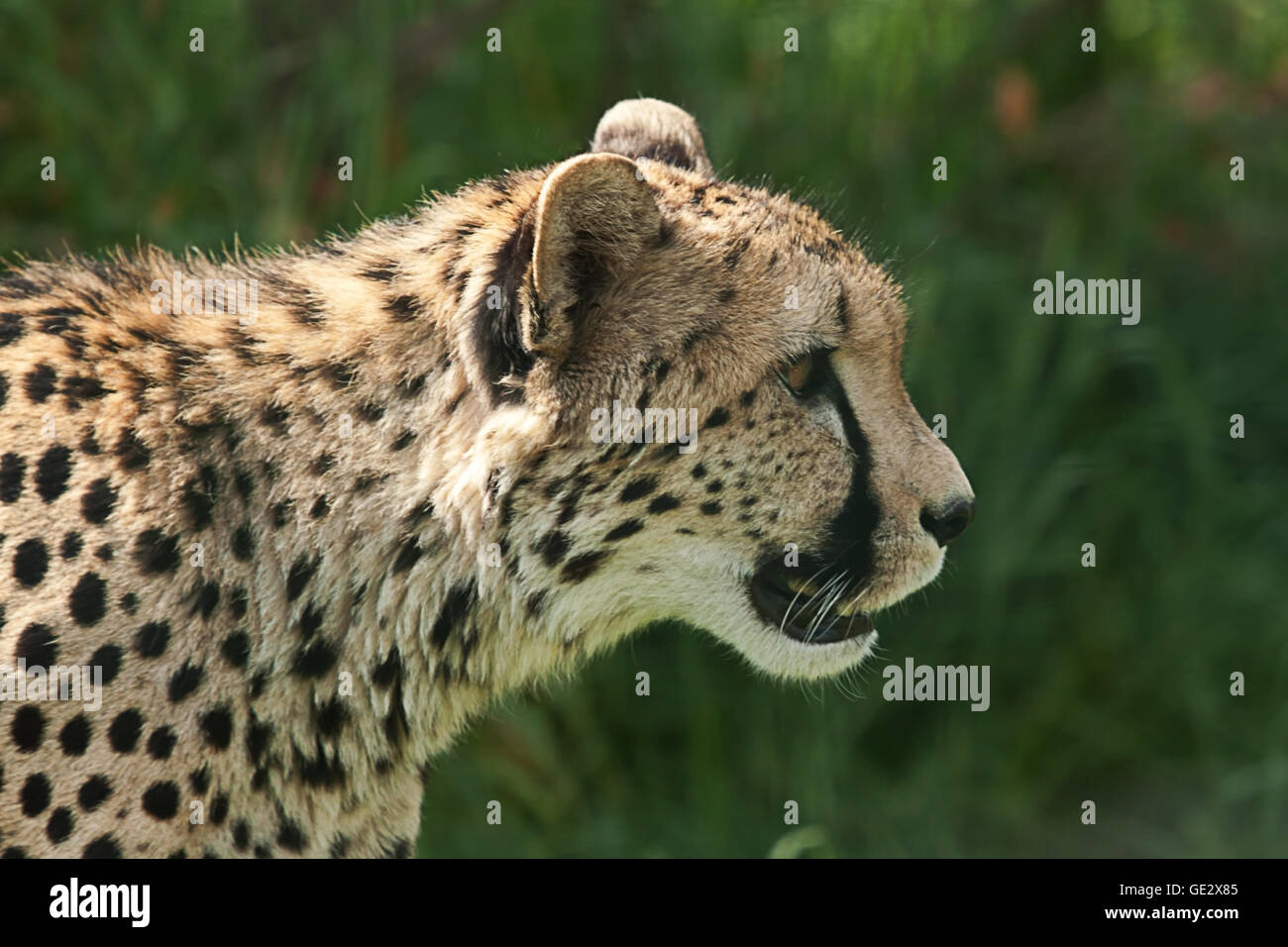 photographic portrait of an alert Cheetah - Stock Image