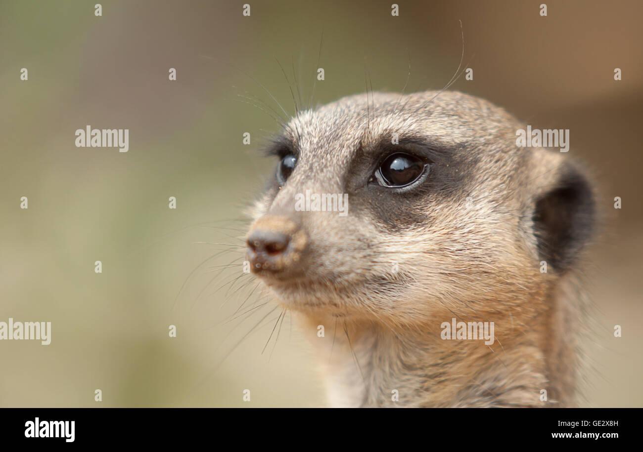 photographic study of an alert Meerkat - Stock Image