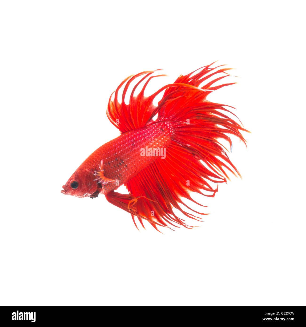 orange red siamese fighting fish, betta splendens isolated on white background Stock Photo