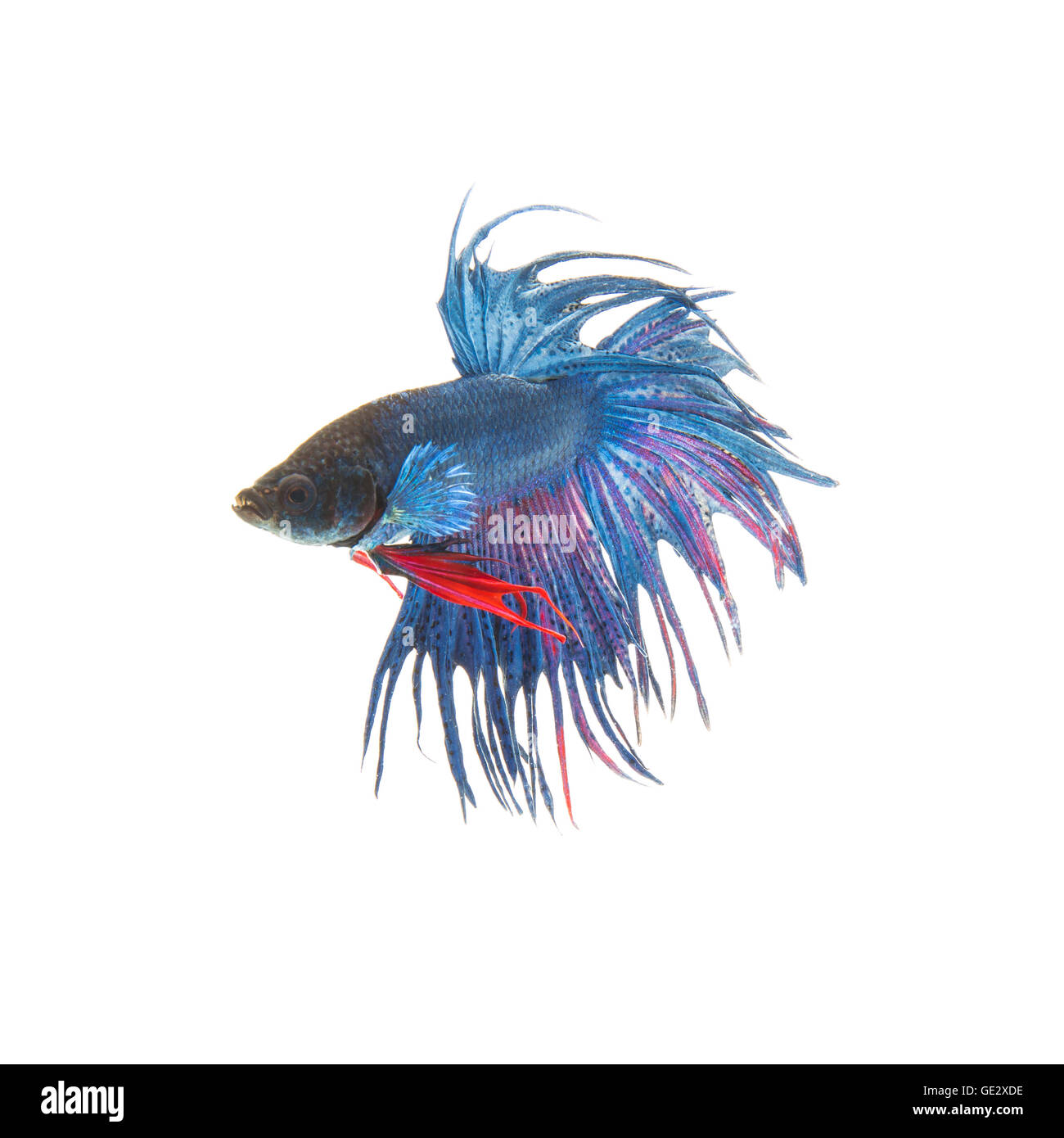 Blue Siamese Fighting Fish | Blue Siamese Fighting Fish Betta Splendens Isolated On White Stock