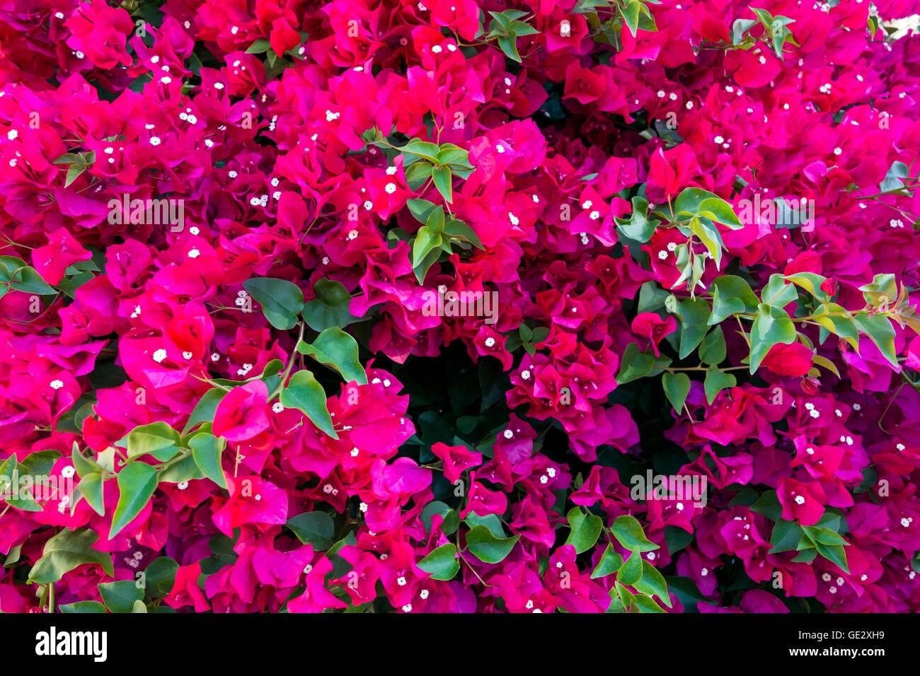 Background of beautiful magenta bougainvillea. - Stock Image