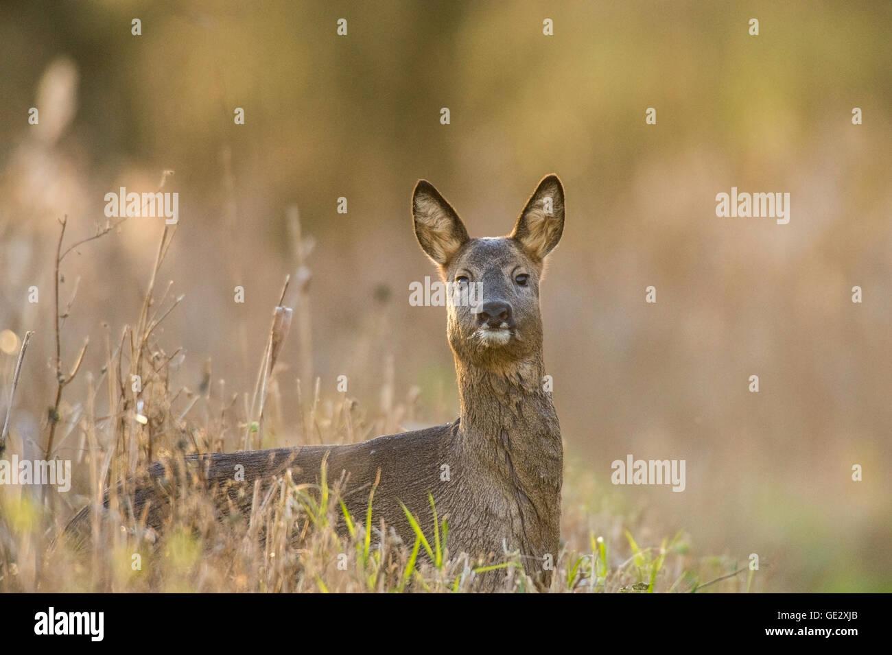 Roe Deer Doe staring at the camera. - Stock Image