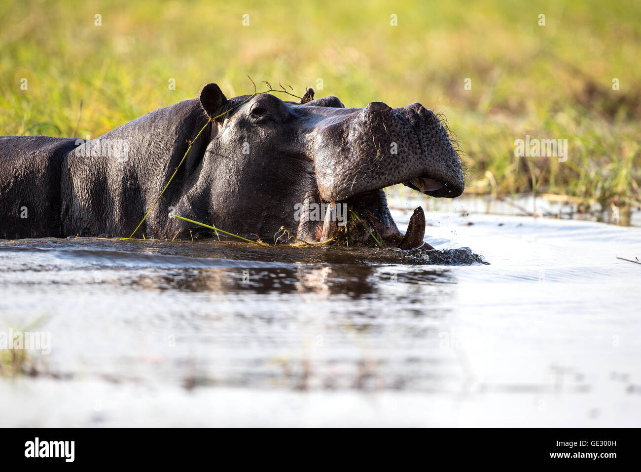 Large adult Hippopotamus Hippopotamus amphibius semi submerged with open mouth showing large canine tusks - Stock Image