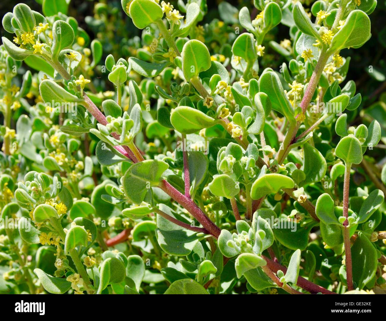 Coastal dune weed with velvety green leaves, red stems and yellow stamens at Point Peron in Western Australia. - Stock Image