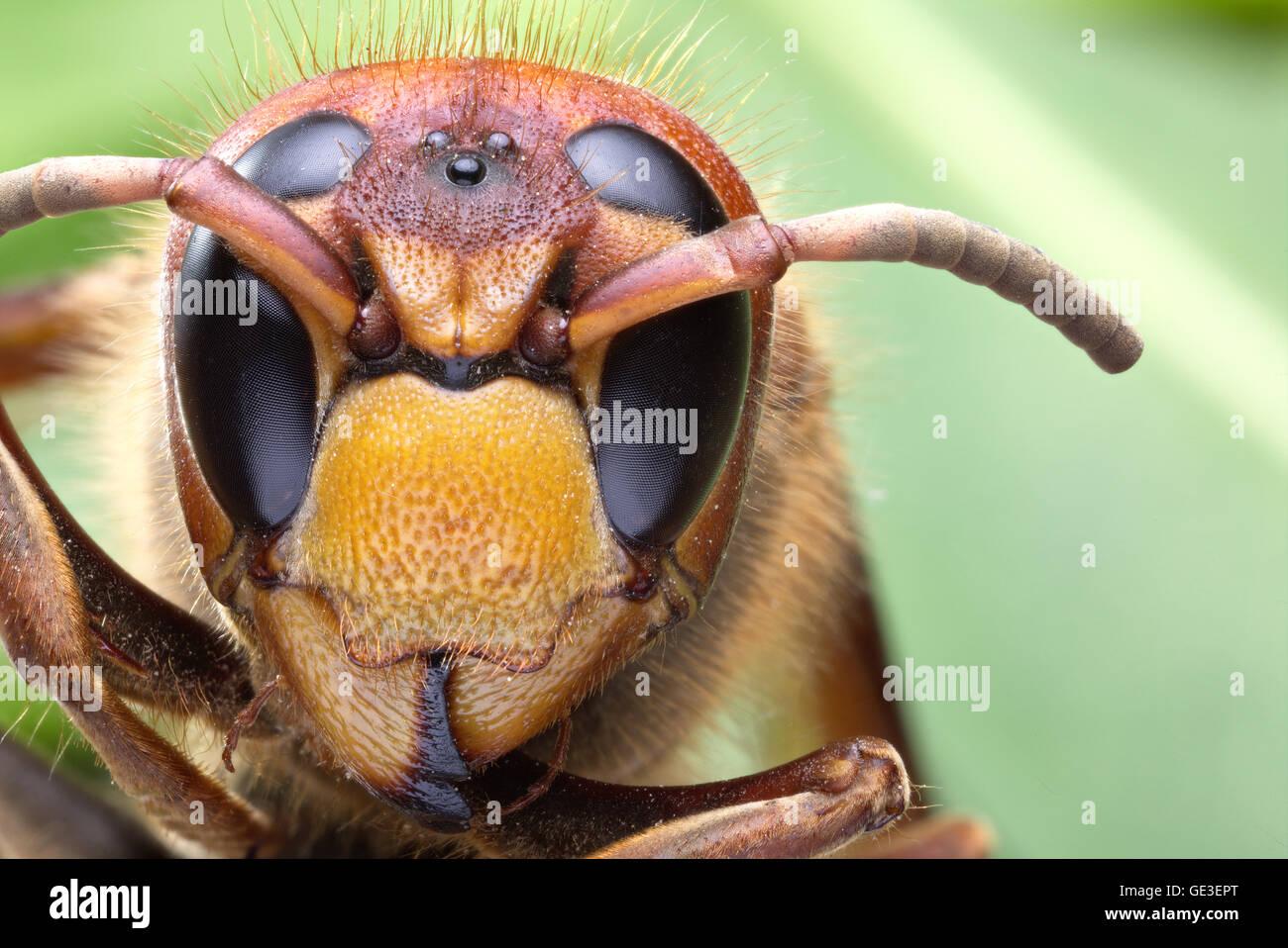 Macro shot of hornet or yellow jacket. - Stock Image