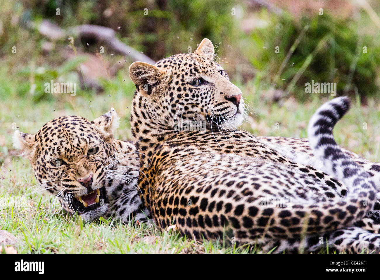 Masai Mara, Kenya. African leopard (Panthera pardus pardus) snarling rests with another leopard near a recent kill. - Stock Image